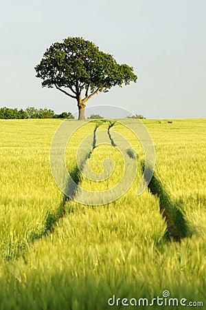 Oak tree in field of green corn with blue sky