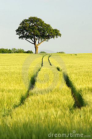 Free Oak Tree In Field Of Green Corn With Blue Sky Royalty Free Stock Photos - 10817388