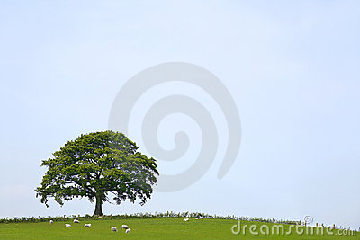 Oak Tree Landscape