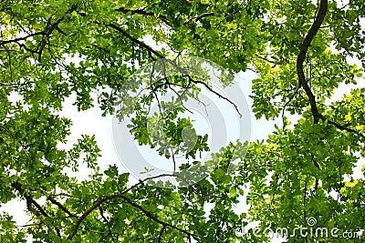 Oak tree leafage