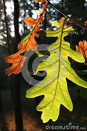 Oak-tree leaves_2