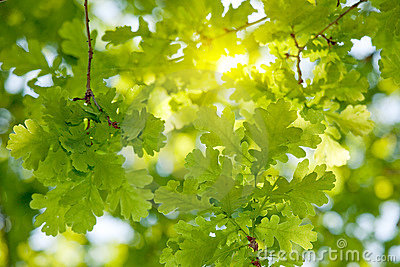 Oak tree leaves sunlight