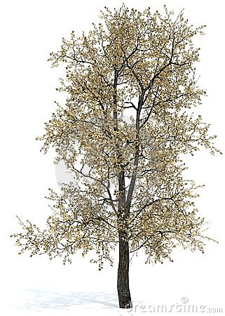 Oak tree - Quercus borealis (Rubra) 60