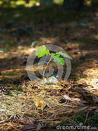 Free Oak Tree Sapling Royalty Free Stock Photos - 17107208