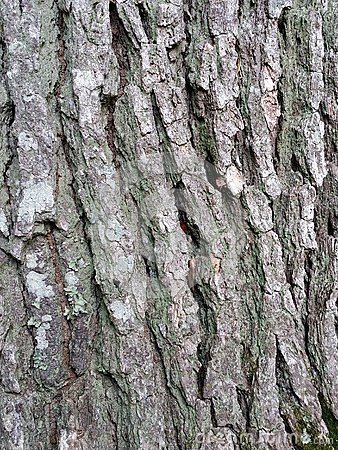 Oak Tree Texture Stock Photo - Image: 54223268