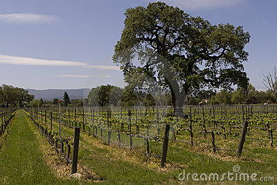 Oak tree vineyard