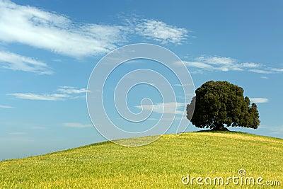 Oak tree in wheat field