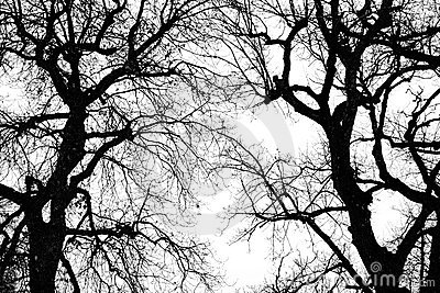 Oak tree winter silhouette