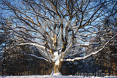 Oak-tree in winter wood