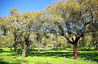 Oak trees .