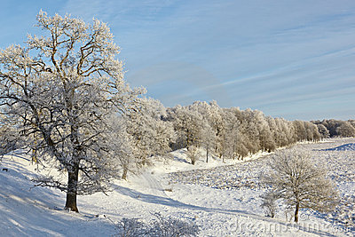 Oak trees on the hill