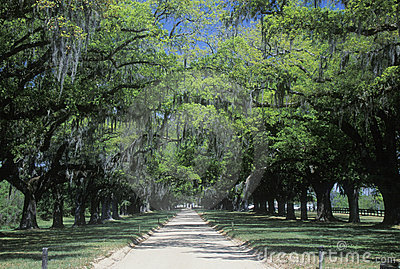 Oak trees lining a plantation road