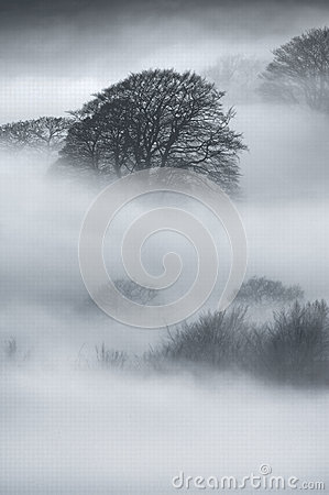 Oak Trees in thick fog