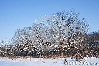 Oak trees in wintertime.