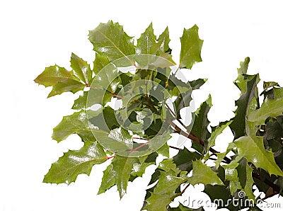 Oaken twig