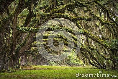 Oaks Avenue Charleston SC Plantation Live Oak Tree