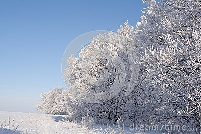 Oaks covered with snow