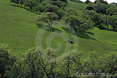 Oaks on a Green Hill