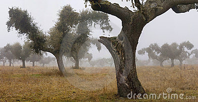 Oaks in the mist 2