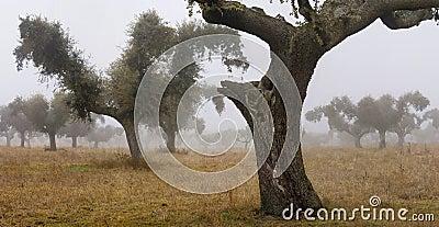 Oaks in the mist 2