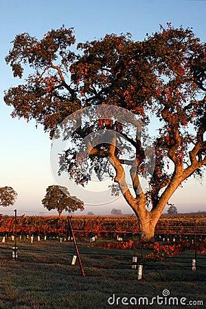Oaks in the Vineyard