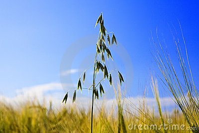 Oat ear in Field on background of dark blue sky