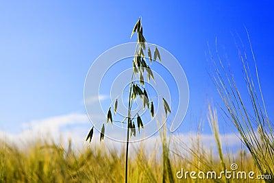 Oat ear in Field on background of dark blue sky