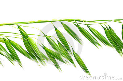 Oat Inflorescence Stock Photography - Image: 14928782