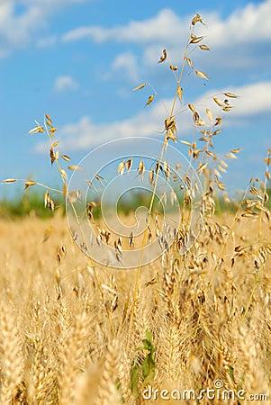 Oat over wheat field