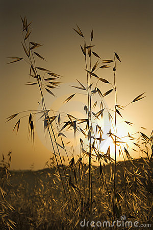 Oat plants in field at sunset in Tuscany.