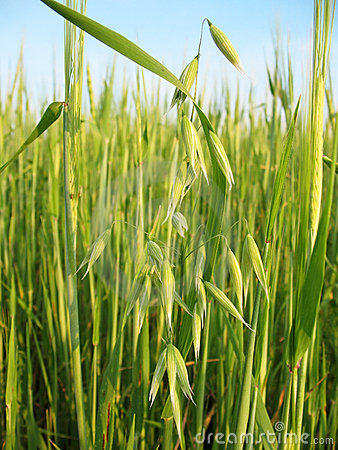 Oats against the background of wheat