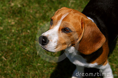 Obedient Beagle