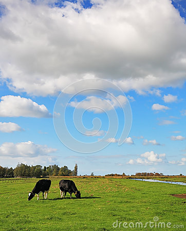Obese and clean cows  grazing in the meadows.