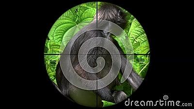 Obscurus oscuro de Trachypithecus del mono de la hoja también conocido como Langur con gafas visto en alcance del rifle del arma  metrajes