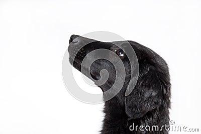 Observant black puppy