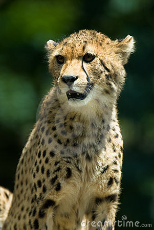 Observant cheetah.
