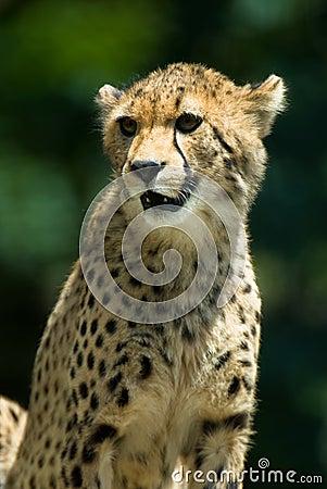 Observant cheetah.