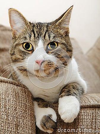 Occhi del fronte del gatto grandi