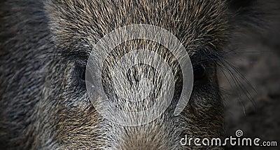 Gli occhi del verro