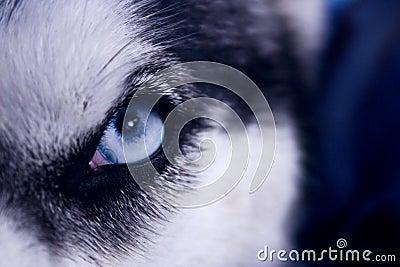 Occhio del predatore