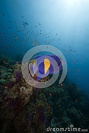 Free Ocean, Coral And Arabian Angelfish Stock Photos - 9928683