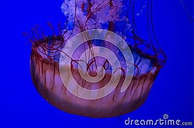 Ocean Nettle