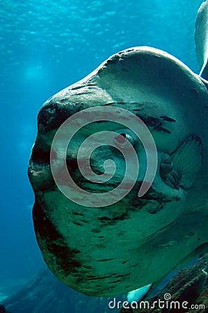 Ocean Sun fish