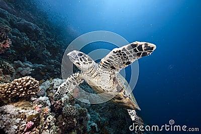 Ocean, sun and hawksbill turtle