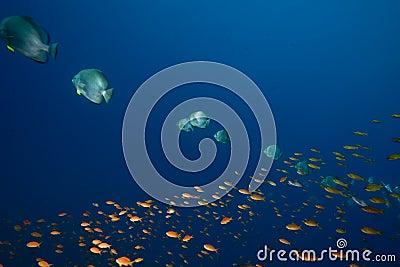 Ocean, sun and orbicular spadefish