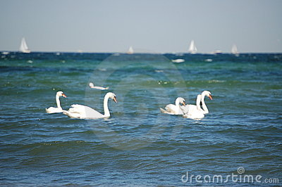 Ocean swan