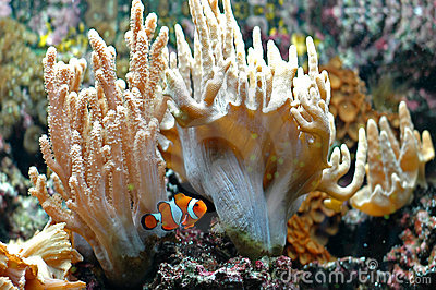 Ocellaris clownfish 2