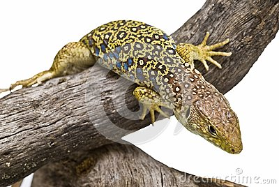 An ocellated lizard climbing a branch.
