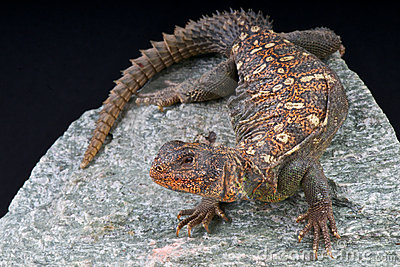 Ocellated Uromastyx