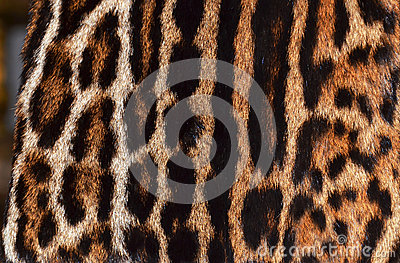 Ocelot,leopard and jaguar fur
